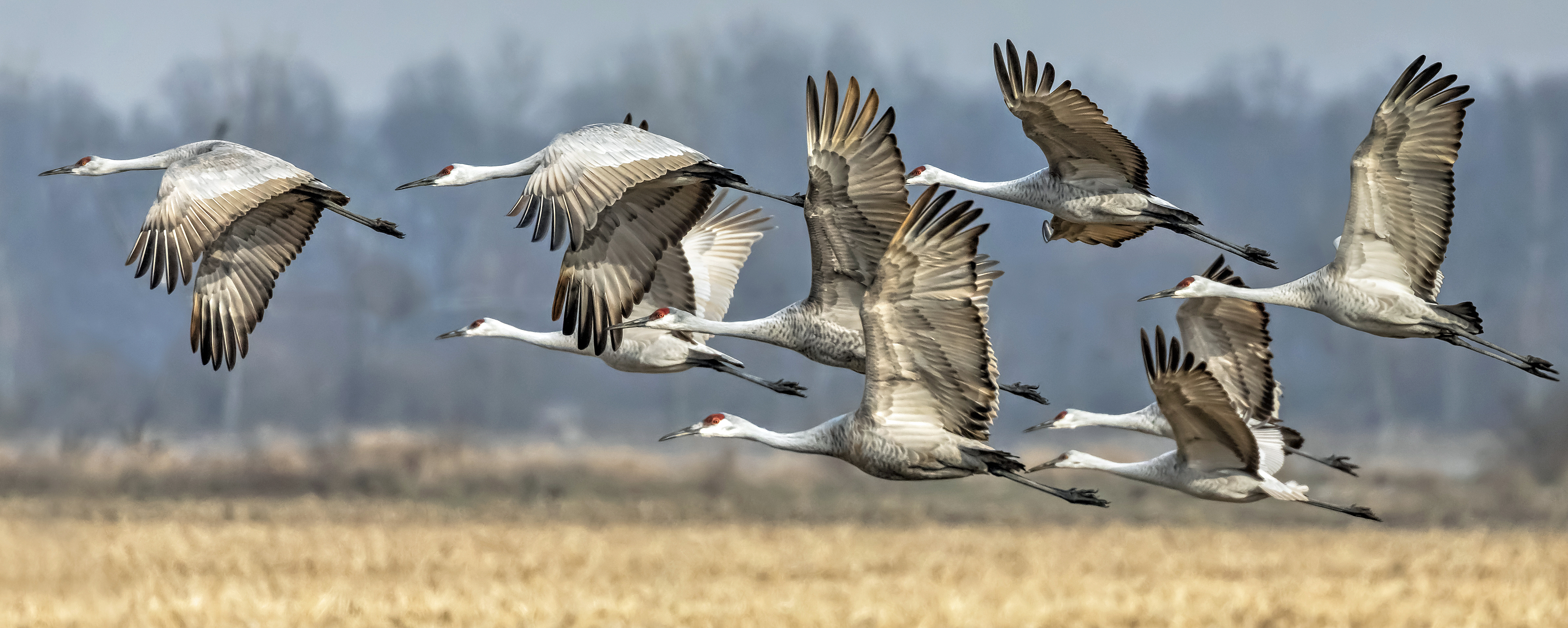 Registration for Sandhill Crane Season Opens September 4