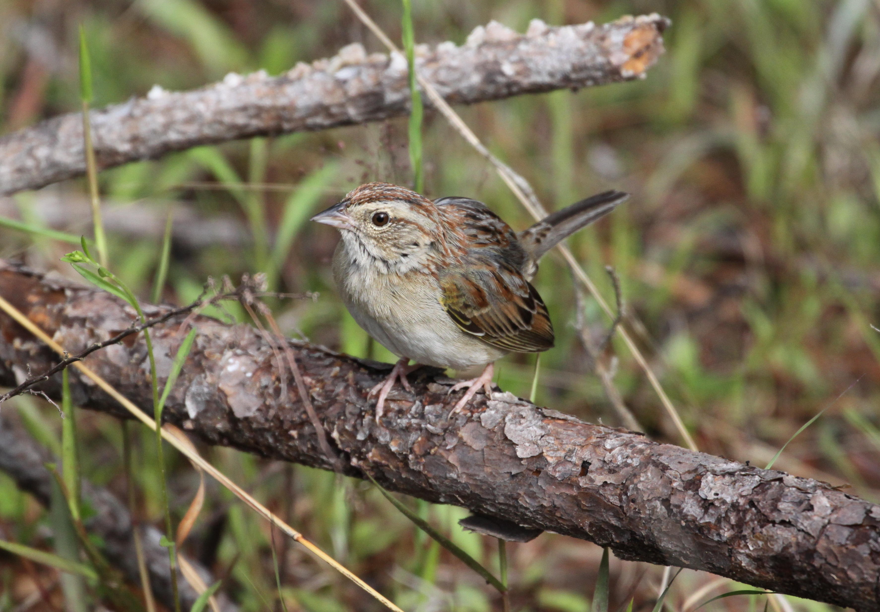 A species often sought by birders is the Bachman's sparrow. This rare bird can found in the pine uplands of the Wehle Tract primarily during spring and summer. Photo by Eric Soehren, ADCNR