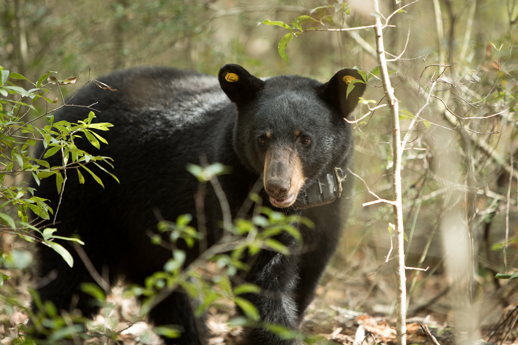 The Truth About Black Panthers And Bears In Alabama Outdoor Alabama