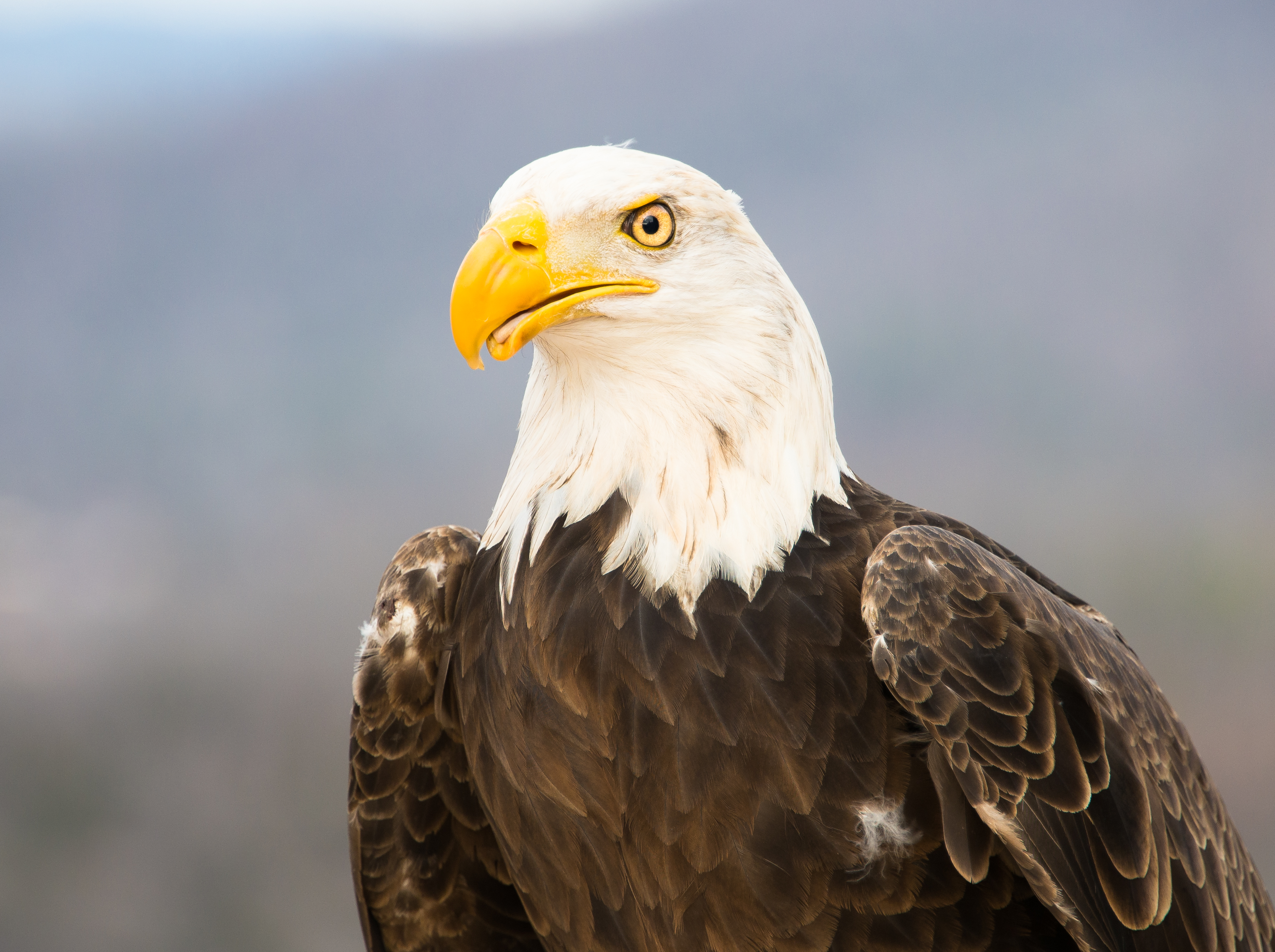 Bald Eagle Photo by Drew Senter