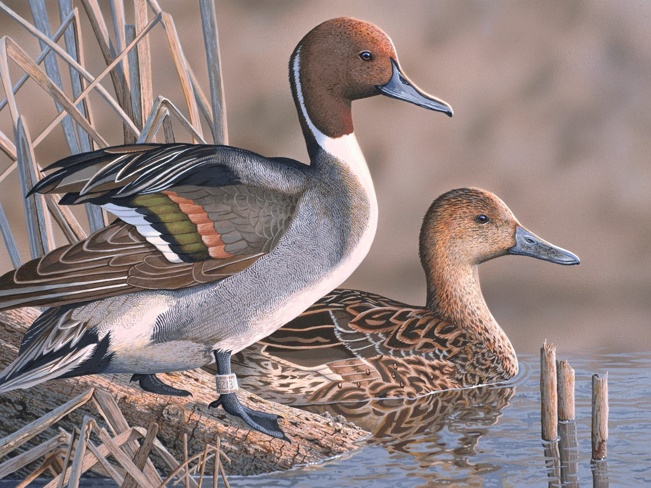 Pintail ducks