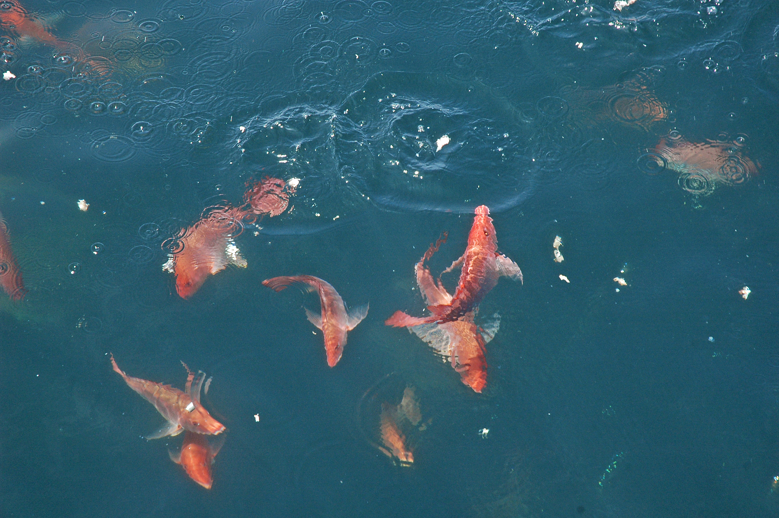 Red snapper feeding