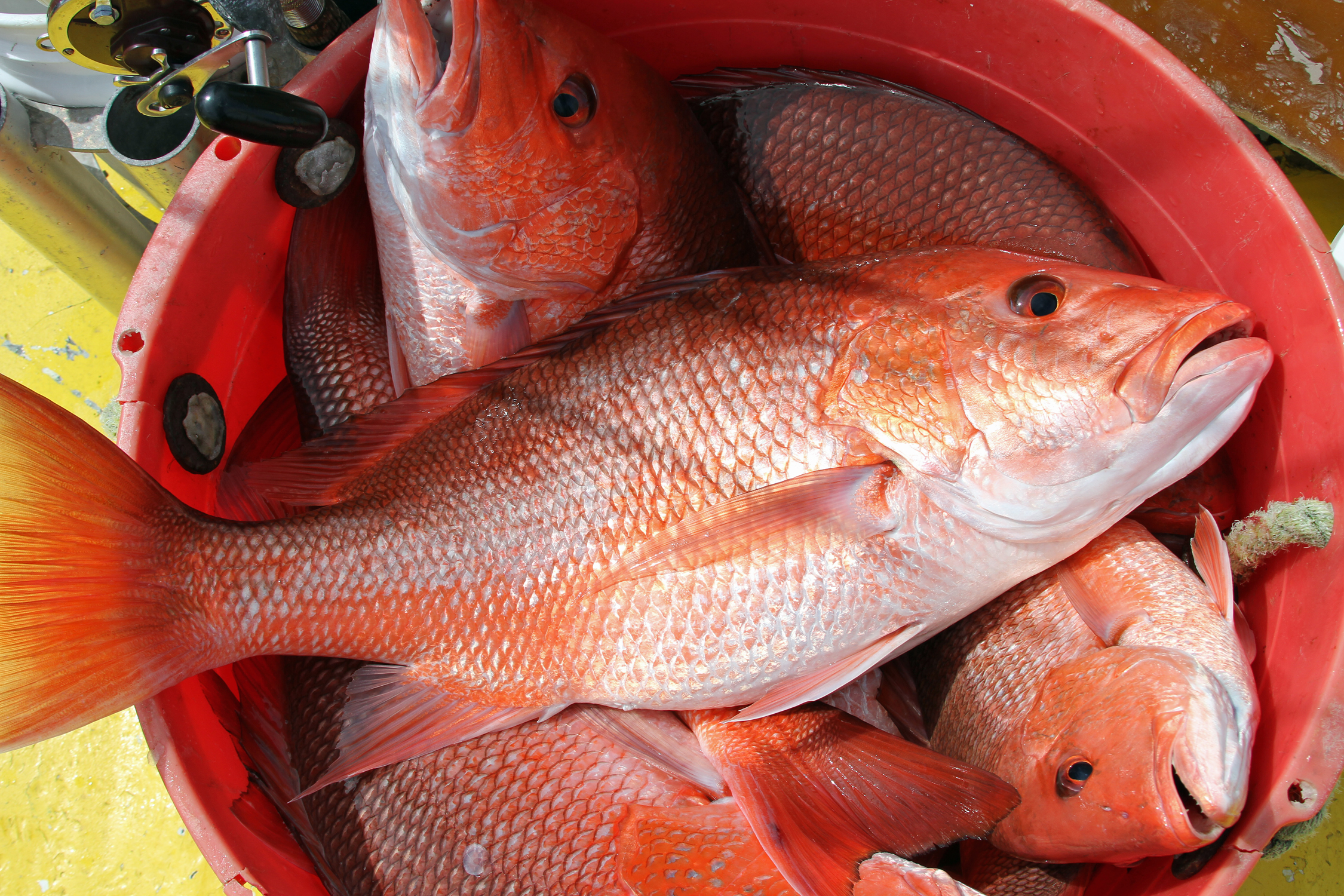 The daily bag limit will be two red snapper per person, per day with a minimum size limit of 16 inches total length.