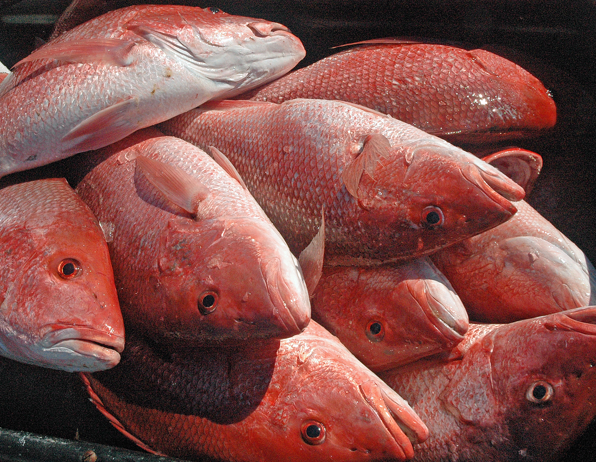 Alabama Announces Closure of Red Snapper Season for Private Anglers