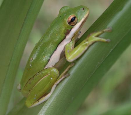 green treefrog outdoor alabama