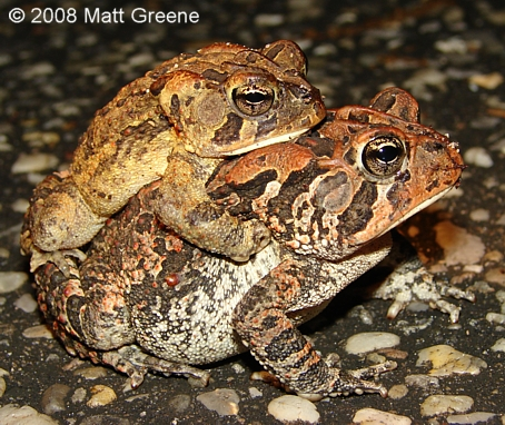 Southern%20Toad.jpg