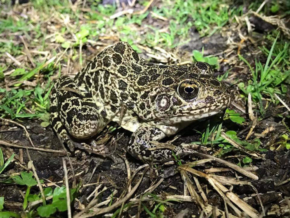 Frogs and Toads in Alabama | Outdoor Alabama