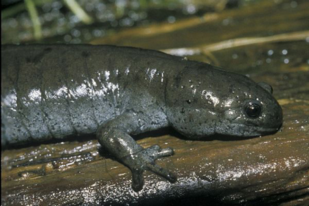 Small%20Mouth%20Salamander.jpg