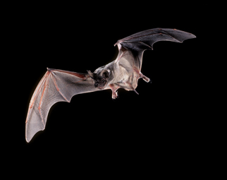 Mexican%20free-tailed%20Bat.jpg