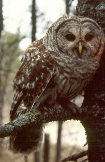 Barred%20Owl.jpg