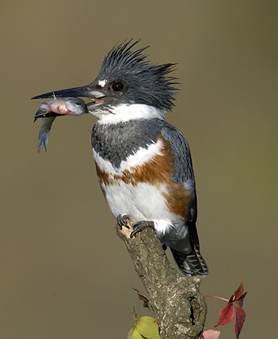 Belted Kingfisher Outdoor Alabama