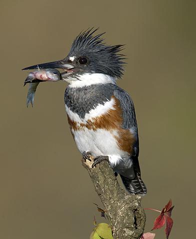 Kingfisher | Outdoor Alabama