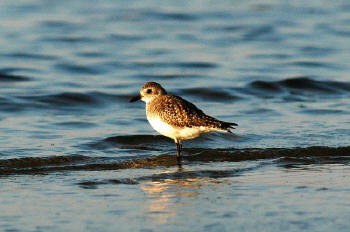 Black-bellied%20Plover.jpg