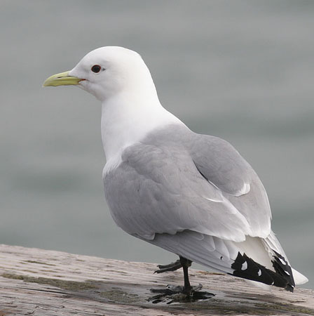 Black-legged%20Kittiwake.jpg