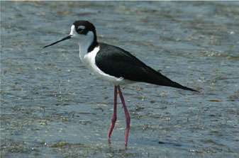 Black-necked%20Stilt.jpg