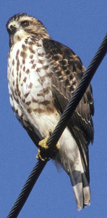 Broad-winged-Hawk.jpg