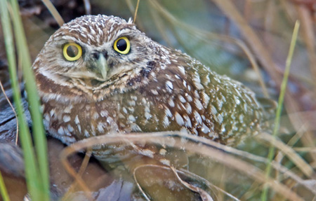 Burrowing%20Owl.jpg