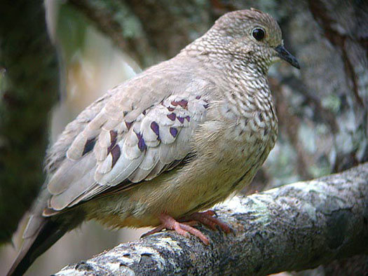 Common%20Ground-Dove.jpg