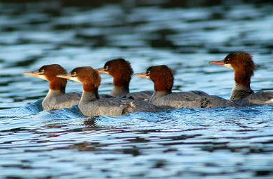 Common%20Merganser.jpg