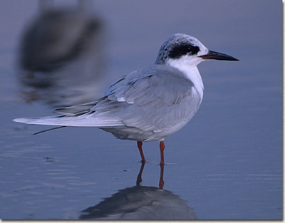 Common%20Tern.jpg
