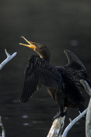 Double-crested%20Cormorant.jpg