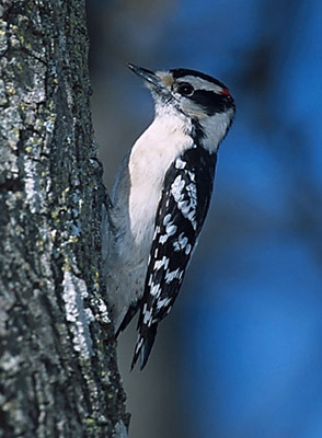Downy%20Woodpecker.jpg