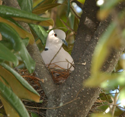 Eurasian%20Collared-Dove.jpg