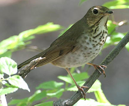 Gray-cheeked%20Thrush.jpg