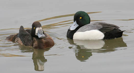 Greater%20Scaup.jpg