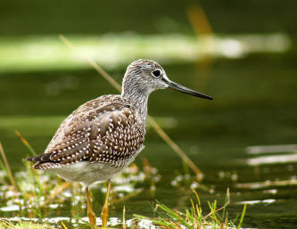 Greater%20Yellowlegs.jpg