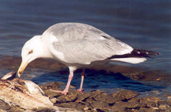 Herring%20Gull.jpg
