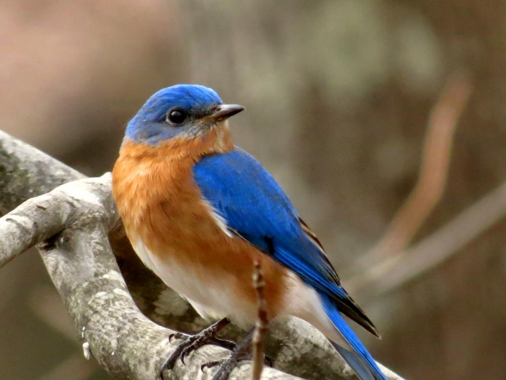 Eastern Bluebird | Outdoor Alabama