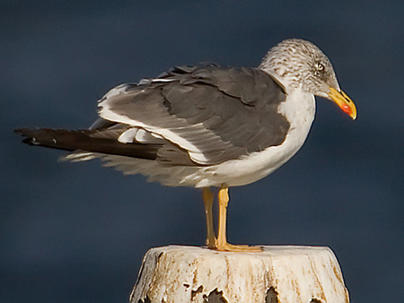 Lesser%20Black-backed%20Gull.jpg