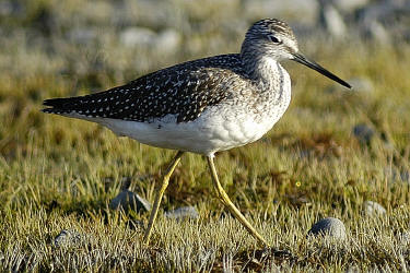 Lesser%20Yellowlegs.jpg