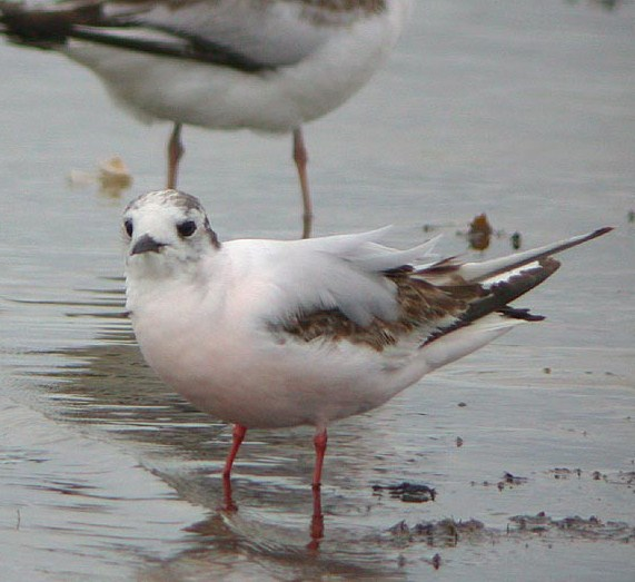 Little%20Gull.jpg
