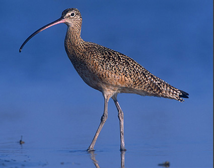 Long-billed%20Curlew.jpg