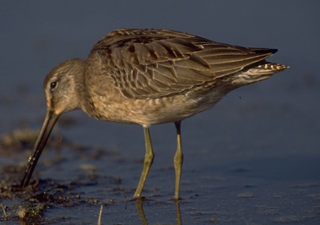 Long-billed%20Dowitcher.jpg