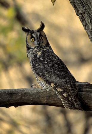 long eared owl outdoor alabama