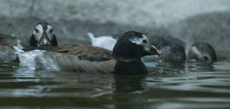 Long-tailed%20Duck.jpg