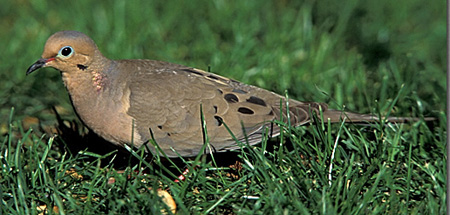 Mourning%20Dove.jpg