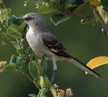 Northern%20Mockingbird.jpg