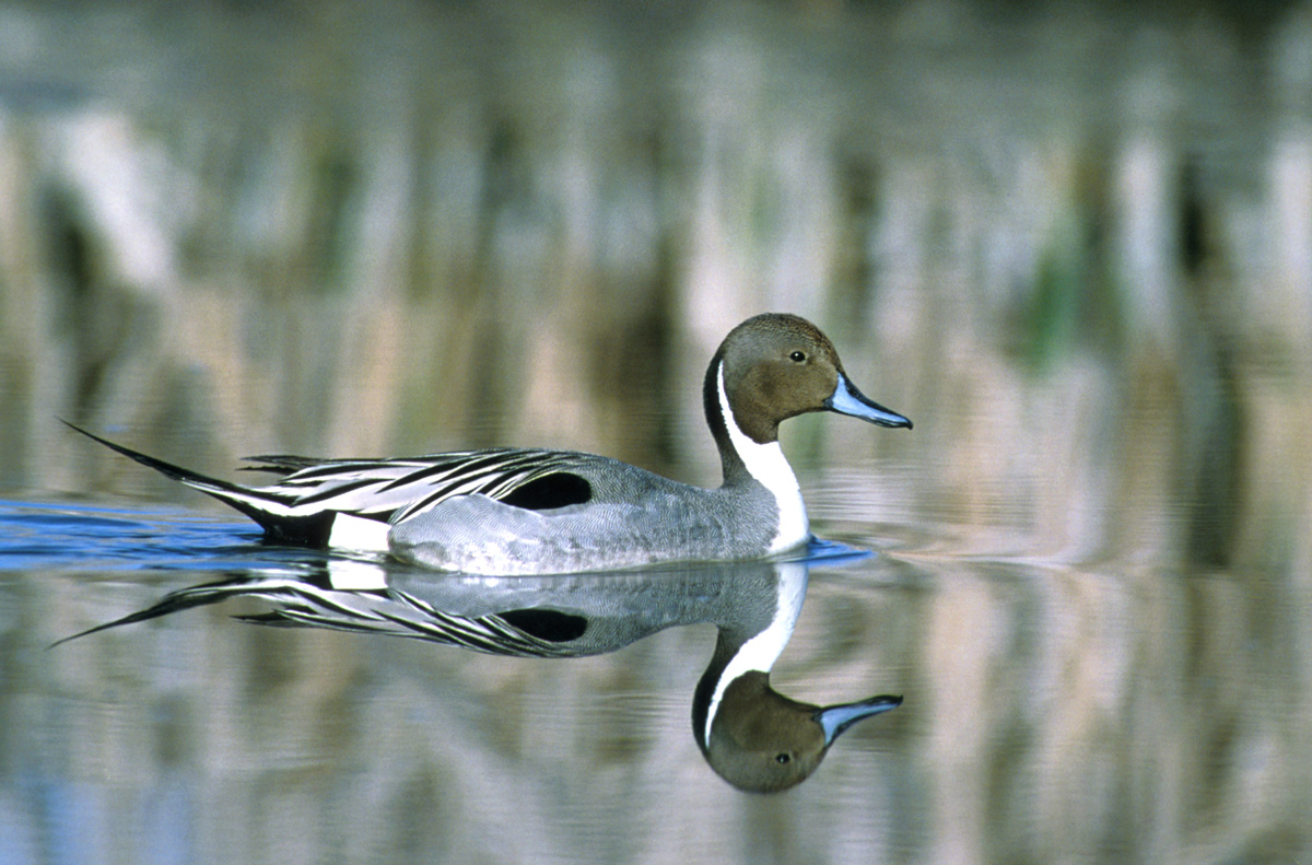 Northern%20Pintail.jpg