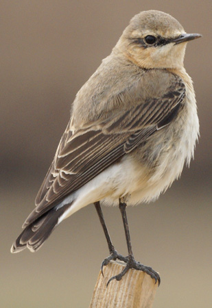 Northern%20Wheatear.JPG