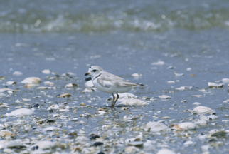 Piping%20Plover.jpg