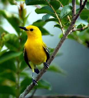 Prothonotary%20Warbler.jpg