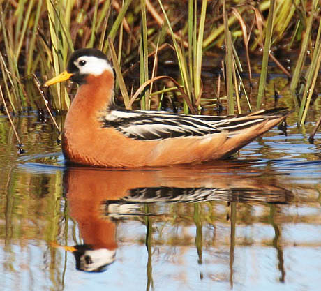 Red%20Phalarope.jpg