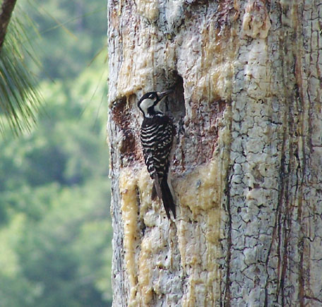 Red-cockaded%20Woodpecker.jpg