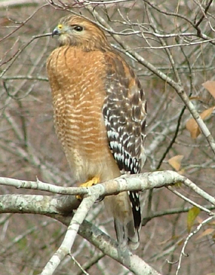 Red-shouldered%20Hawk.jpg