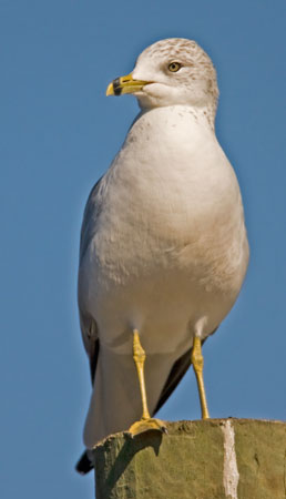 Ring-billed%20Gull.jpg
