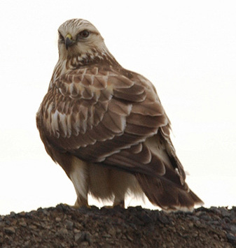 Rough-legged%20Hawk.jpg